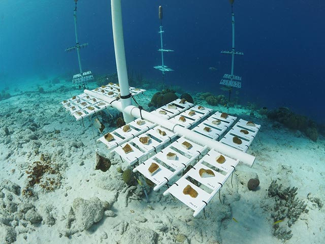 Traditional coral nursery tree were modified with tray structures to support the growth of boulder corals.